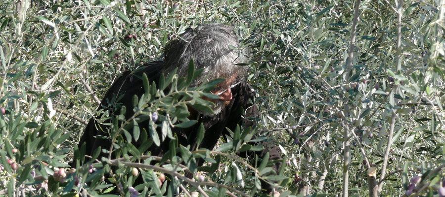 The olive harvest