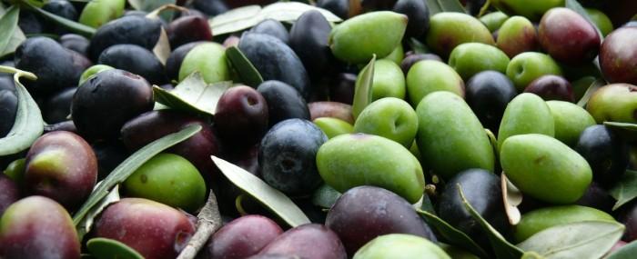 Kalamon olive harvest