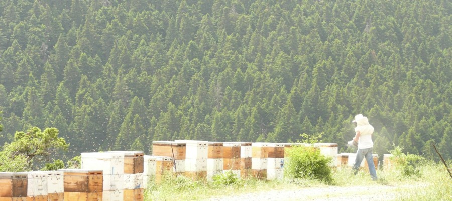 White Fir tree honey