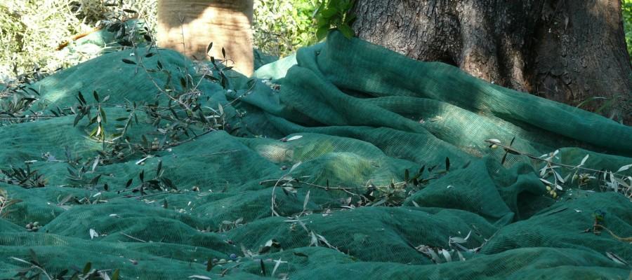 Traditional olive harvest