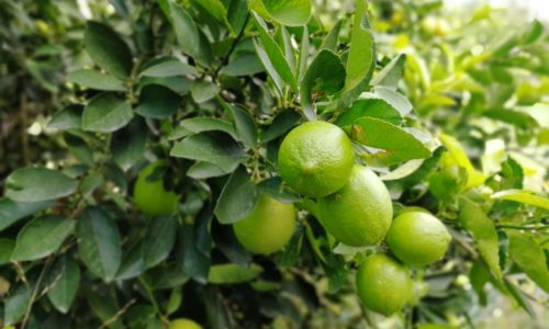 silver leaf organic limes on tree