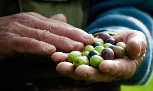 Silver leaf olives