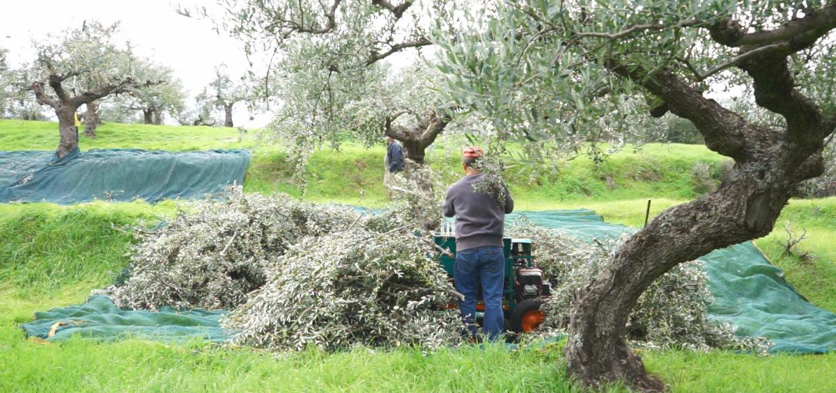harvesting olives in terraces