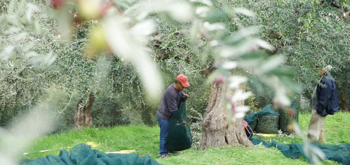 Olive harvest in Greece