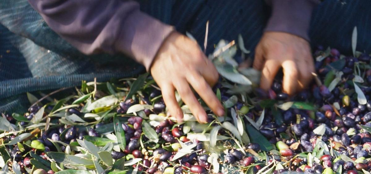 harvesting olives Gerasimos