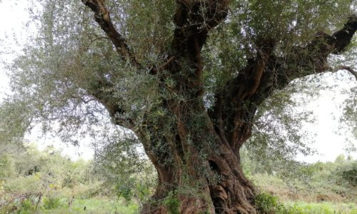 Ancient olive tree in food forest
