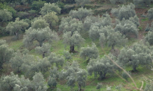 Olive trees on slope